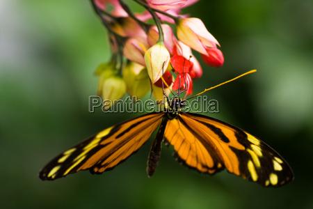 dyr insekt insekter sommerfugl tropiske tropical