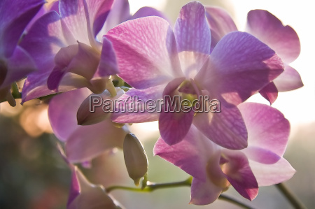 blomst plant plante blomster lilla purpur