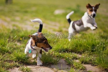 afspilning af hunde