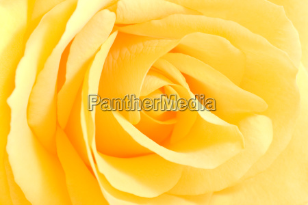 soft yellow rose in close view