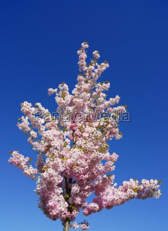 trae blomstre blomstrende frugt traefrugt kirsebaer