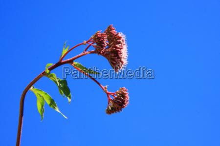 bla blomstre blomstrende vandret format tilbojelige