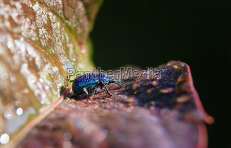 antenner metallisk smaragd weevil blad drop