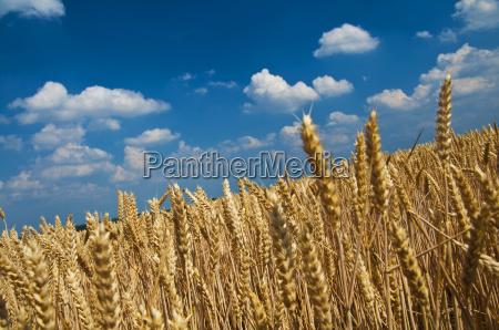 korn felt i hoj sommer