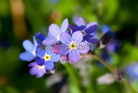bla makrooptagelse close up naerbillede blomst
