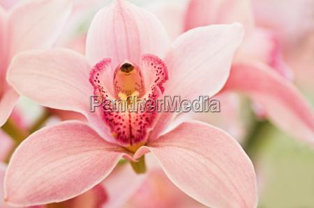 badorchid eller cymbidium