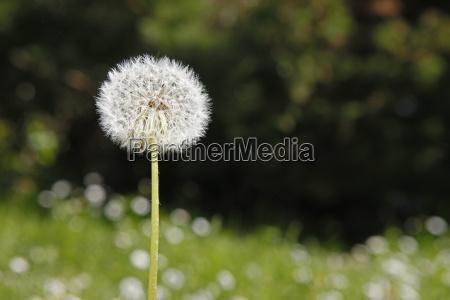 blomst plant plante maelkebotte saed lovetand
