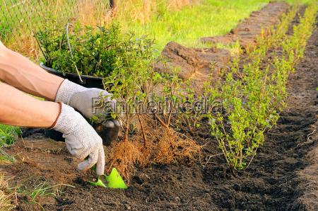 plante busk haek tilplante implanteret