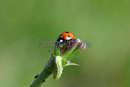 ladybug with caterpillar