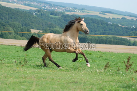 ride hest portraet galop vestlige ridning