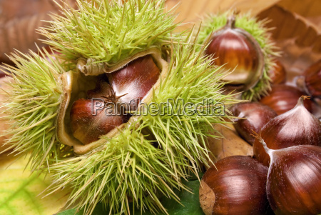 fresh chestnuts lying on autumn leaves