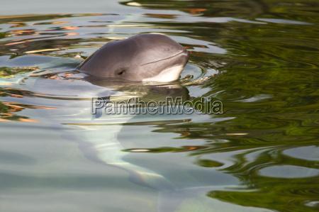 harbour porpoise or phocoena phocoena