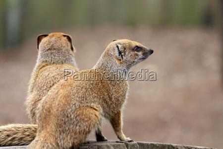 dyr pattedyr afrika udlaengsel udendorsoptagelse horisontal