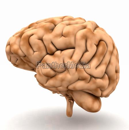 brain udsigt fra hojre