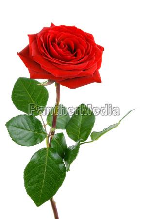 den perfekte rose