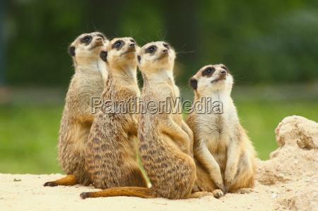 dejlig gruppe meerkats suricata sidder sammen