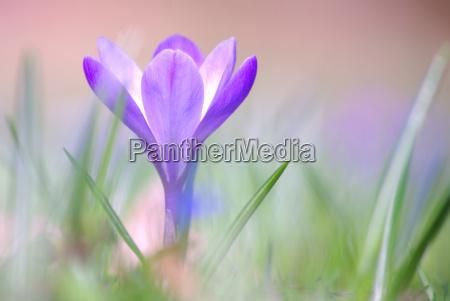 krokus sativus