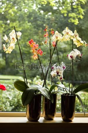 plant krukker med moth orchids i