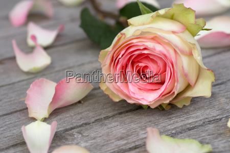 rose med rosenblade