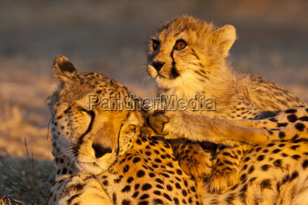 unge gepard acinonyx jubatus cheetah mor