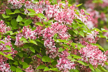 tiny duftende pink syringa microphylla blomster