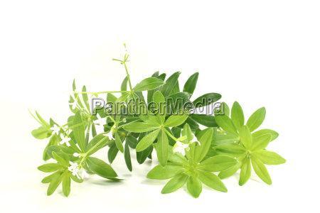 woodruff with flowers