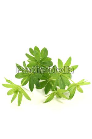 fresh green woodruff