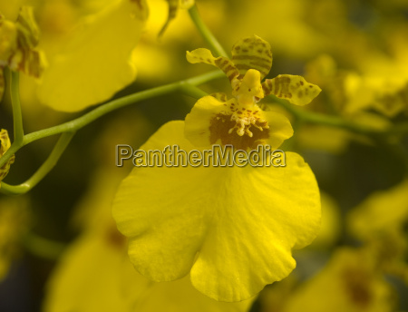 tolumnia oncidium brown yellow orchid flower