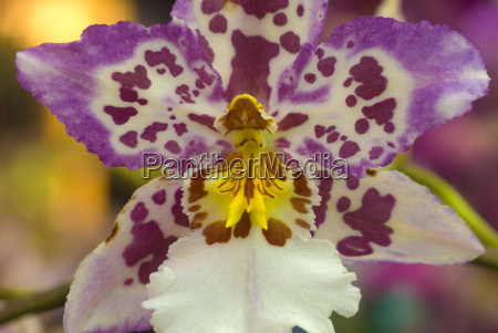 oncidium pink white yellow orchid flower
