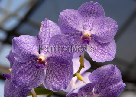 vanda blue white orchid flower