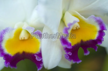 cattleya white yellow magenta orchid flower
