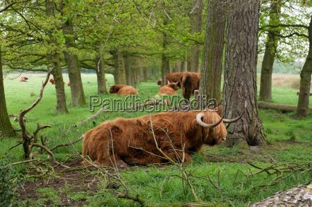 scottish cows