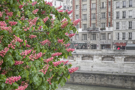 blomstrende kastanie trae foran huse facade