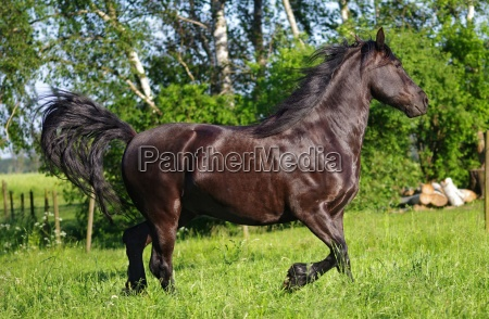 horse gallops in the meadow