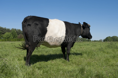 lakenvelder cow