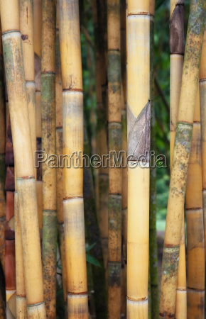 tall yellow bamboo