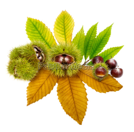 arrangement with fresh chestnuts on leaves