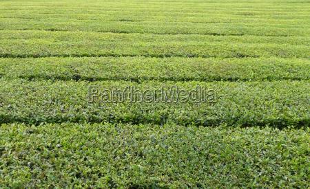 landbrugsmaessig makrooptagelse close up naerbillede gron