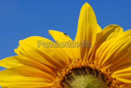bla blomst solsikke plant plante flue