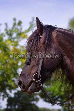 portrait of a horse in black