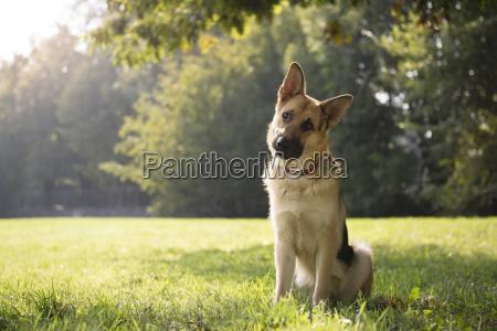 park dyr hund en tysk hyrde