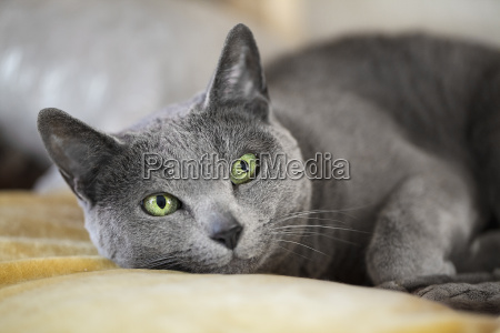 russian blue breed cat