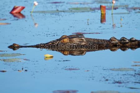 saltvand krokodille