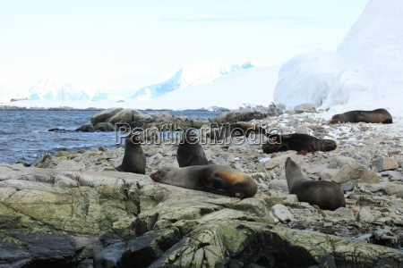 sea lions i antarktis