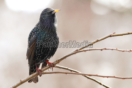 miljo dyr fugl fugle staer songbird