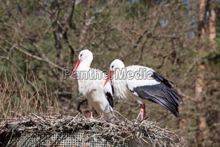 bygge rede ruge stork rede storke