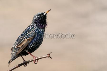 miljo fugl dyr fugle staer natur