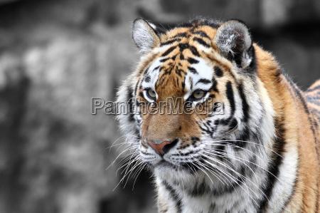 dyr kat tiger katte wildlife rovdyr