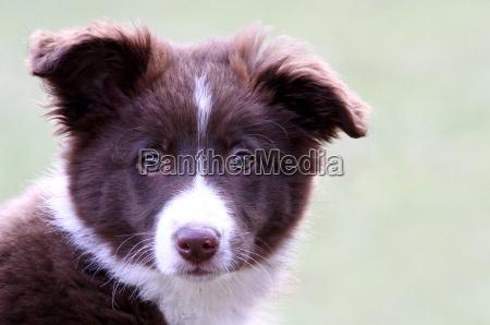 husdyr kaeledyr dyr hund hunde hvalp