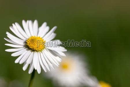 close up flor planta primavera margarida
